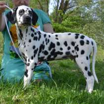 Dalmatian Puppies from White Gures, в г.Мюнхен