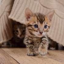 Бенгальские котята, в Воткинске