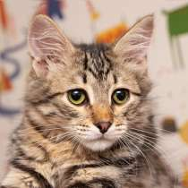 Красавец Вениамин, ласковый и умный котенок-подросток в дар, в Москве