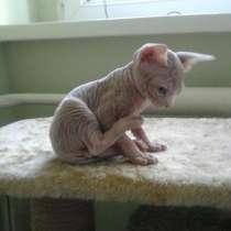 В добрые руки котята Канадского Сфинкса очень милые, в г.Ташкент