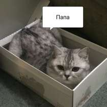 Шотландские котята, в г.Тирасполь