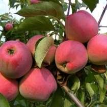 Продаю яблоки Иссык-Кульские Вкусные, витаминные, полезные!, в г.Бишкек