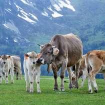 Коровы бычки телята Алтай, в Горно-Алтайске