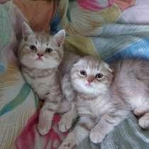 Шотландские котята, в Мурманске