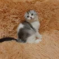 Шотландские вислоухие котята, в Екатеринбурге