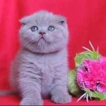 Шотландский лиловый вислоухий котенок, в Краснодаре