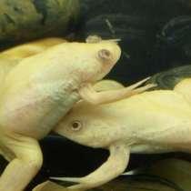 Шпорцевая лягушка, в Фрязине