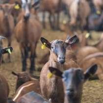 Племенные козы Альпийской пород(Скот из Европы класса Элита), в г.Ереван