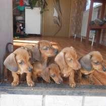Милые щеночки карликовой таксы, в Аткарске