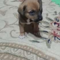 Отдам 1.5 месячного щенка в хорошие руки, в г.Ташкент