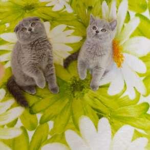 Предлагаются к продаже шотландские котята, в г.Рыбница