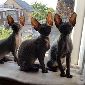 Котята канадского сфинка❤, в г.Лондон