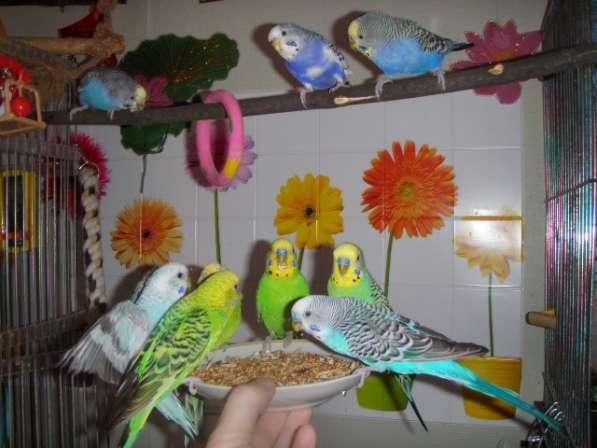 Волнистые попугаи-Самцы от 2х лет в Москве