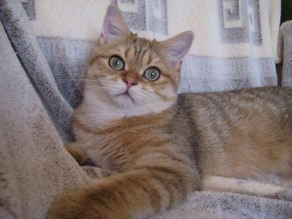 Золотой котик скоттиш страйт