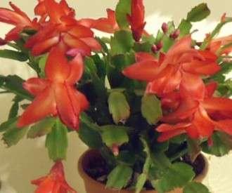 Цветы горшечные: калерия, кроссандра, драцена и другие в Красноярске фото 8