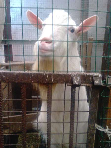 Вязка Зааненского безрогого козла