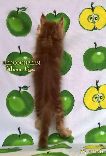 Котята мейн кун красные в Москве фото 4