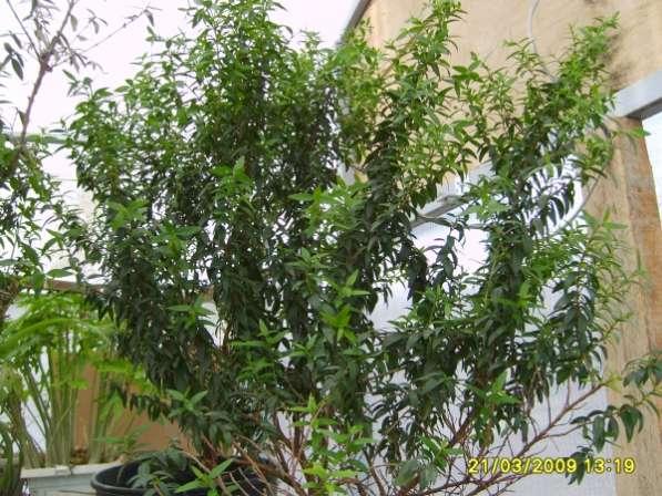 Мирт многолетнее лекарственное растение.
