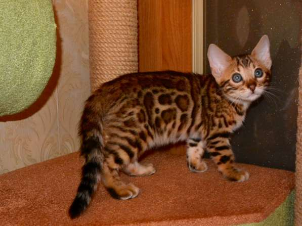Бенгальские котята в Челябинске фото 6