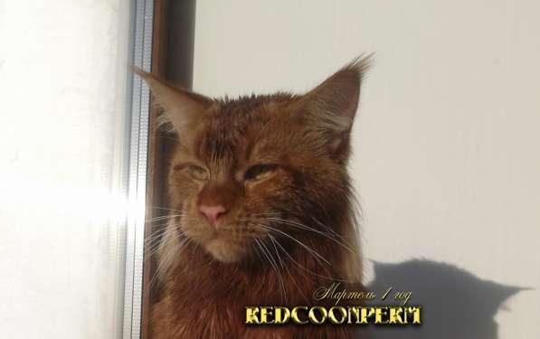 Котёнок менй кун красный солид. Шоу класс в Перми