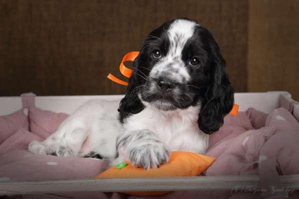 Чудесные щенки английского кокер-спаниеля ждут вас