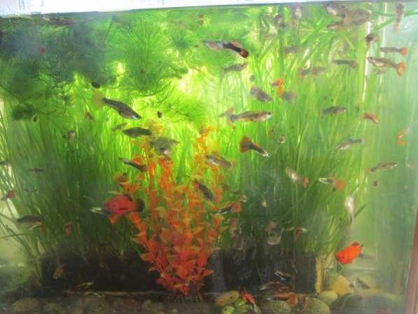 Рыбки гуппи, самцы и самки