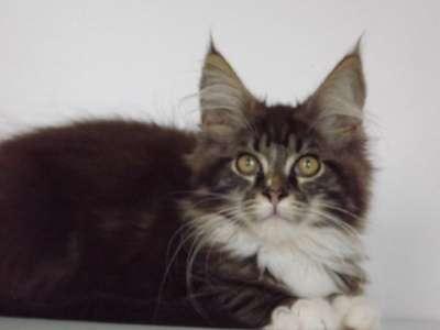 Котята мейн-кун - ласковые гиганты