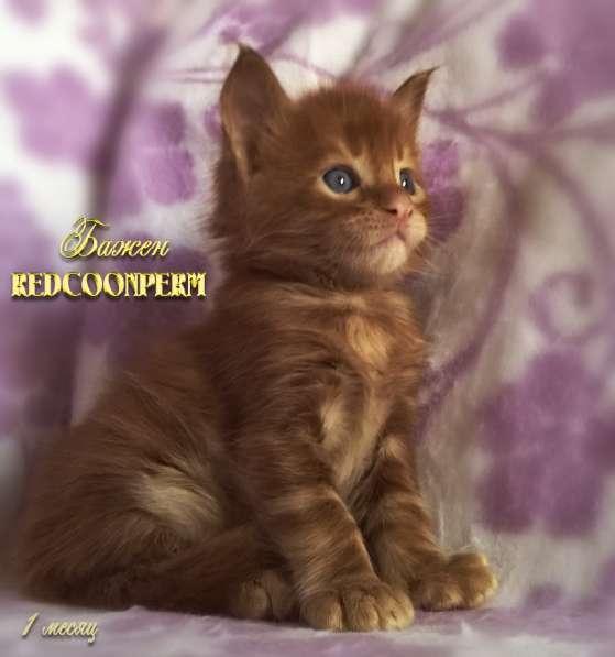 Котёнок менй кун красный солид. Шоу класс в Перми фото 20