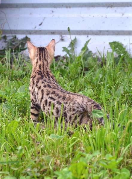 Бенгальсике котята в Нижнем Новгороде фото 19