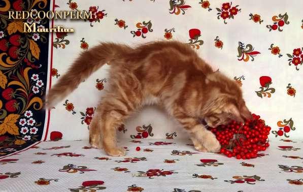 Котята мейн кун красные в Москве фото 7
