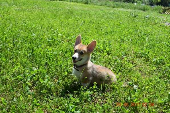 Вельш корги пемброк щенки в Смоленске фото 4