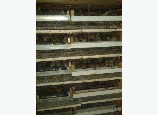 Продам перепелов Японской яйценоской породы в Новосибирске фото 4