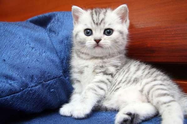 котята вискасного окраса