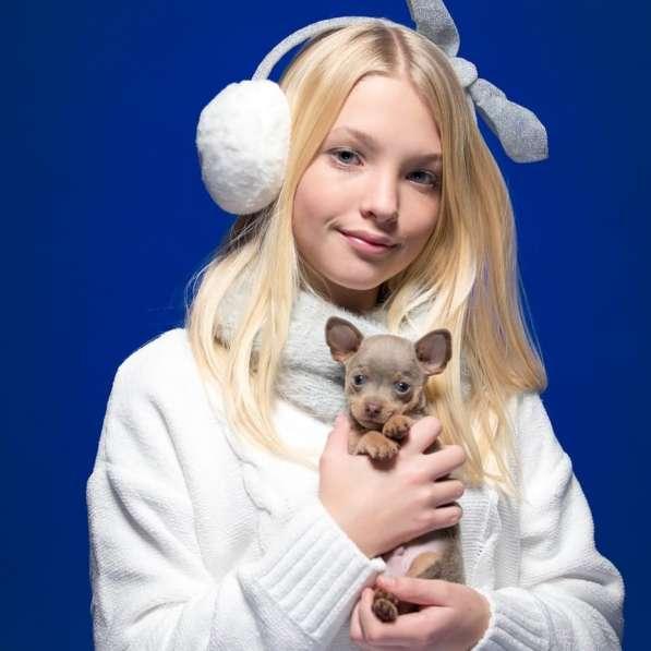 Русский той терьер щенки израиль питомник в фото 7