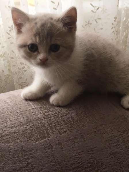 Шотландские котята в Иванове фото 4