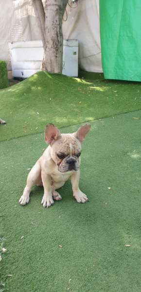 French Bulldog в фото 3
