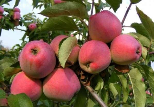 Продаю яблоки Иссык-Кульские Вкусные, витаминные, полезные!