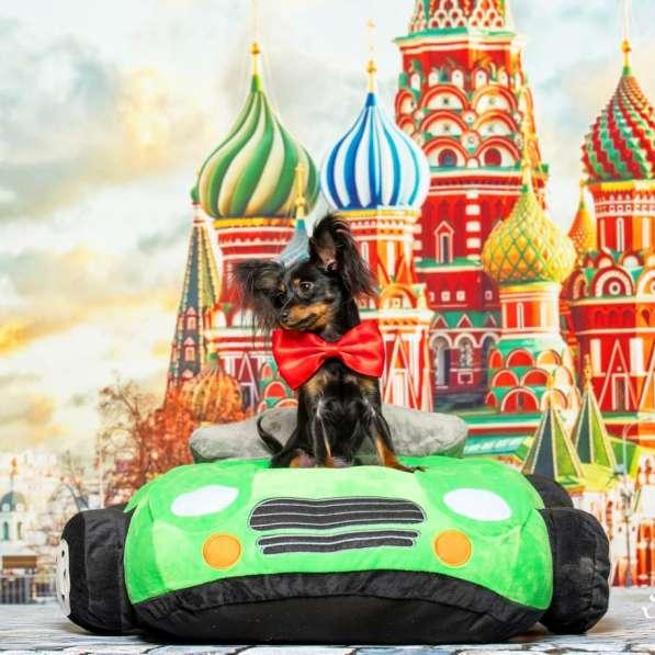 Русский той терьер щенки израиль питомник в фото 5