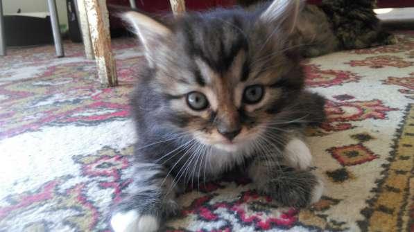 Отдам котят в добрые руки, мама перс, папа сибиряк