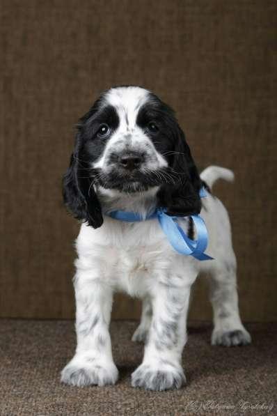 Чудесные щенки английского кокер-спаниеля ждут вас в Перми фото 6