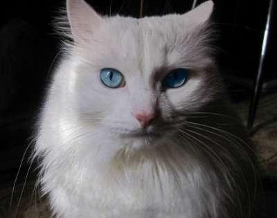 Отдам даром Роскошный кот Снежок хочет домой
