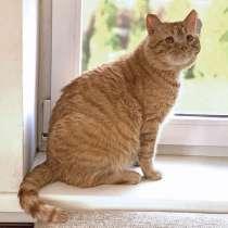 Очень крупный рыжий котик Арнольд в добрые руки, в г.Москва