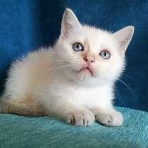 Голубоглазые котята, в Казани
