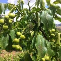 Саженцы привитого грецкого ореха Чандлер, в Краснодаре