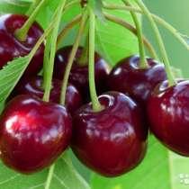 Плодовые деревья, саженцы плодовых деревьев, в Ростове-на-Дону