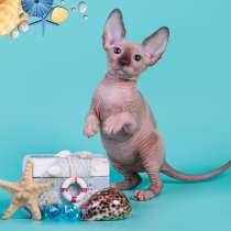 Котёнок Эльф, бамбино, Двэльф или с взглядом, полным солнца, в Уфе