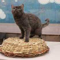 Продаются шотландские котята, в Барнауле