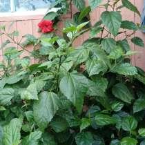 Роза (китайская), в г.Абакан