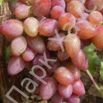 Саженцы винограда (сортовые), в Ростове-на-Дону