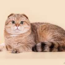 Золотой пятнистый кот на вязку, в Казани